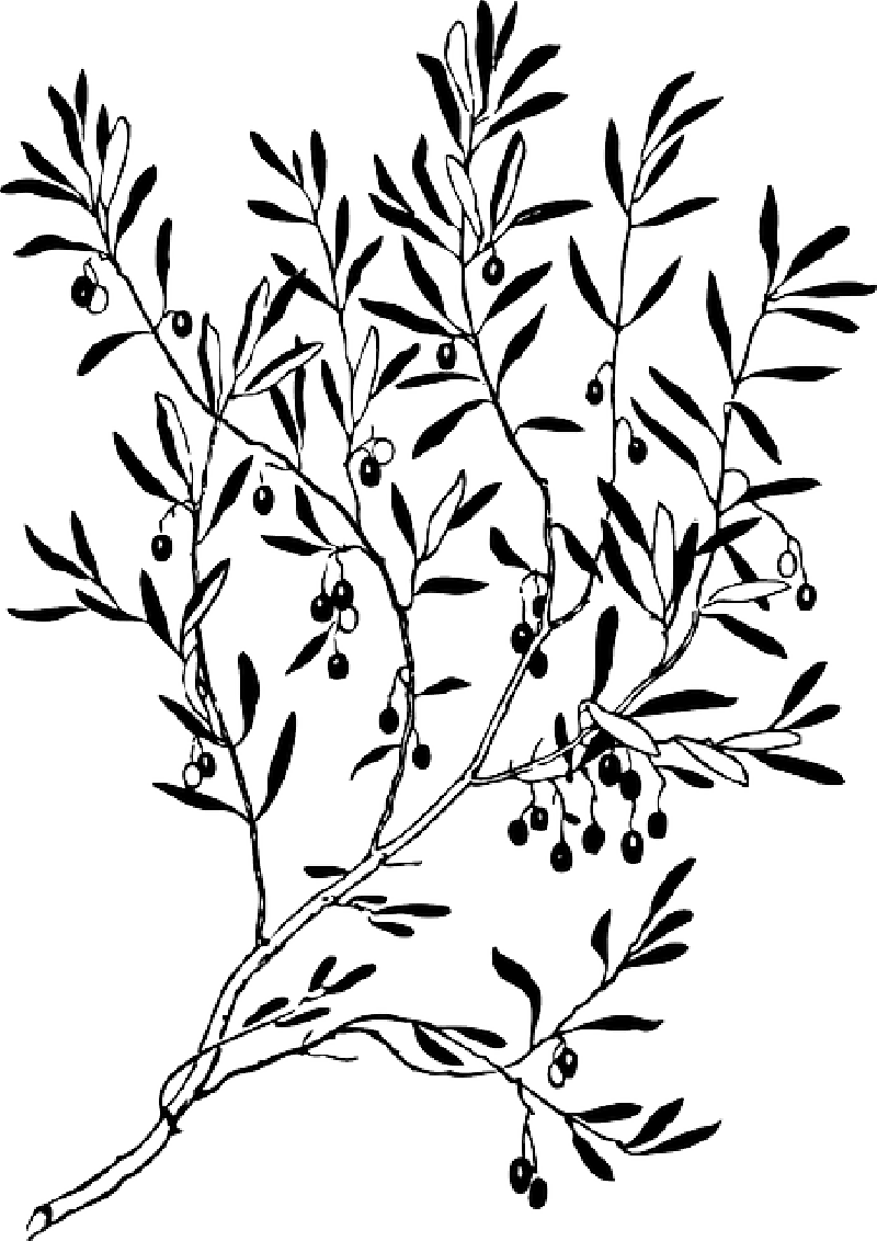 Sketch Silhouette Olive Branch Clipart Full Size Clipart 1521292 Pinclipart