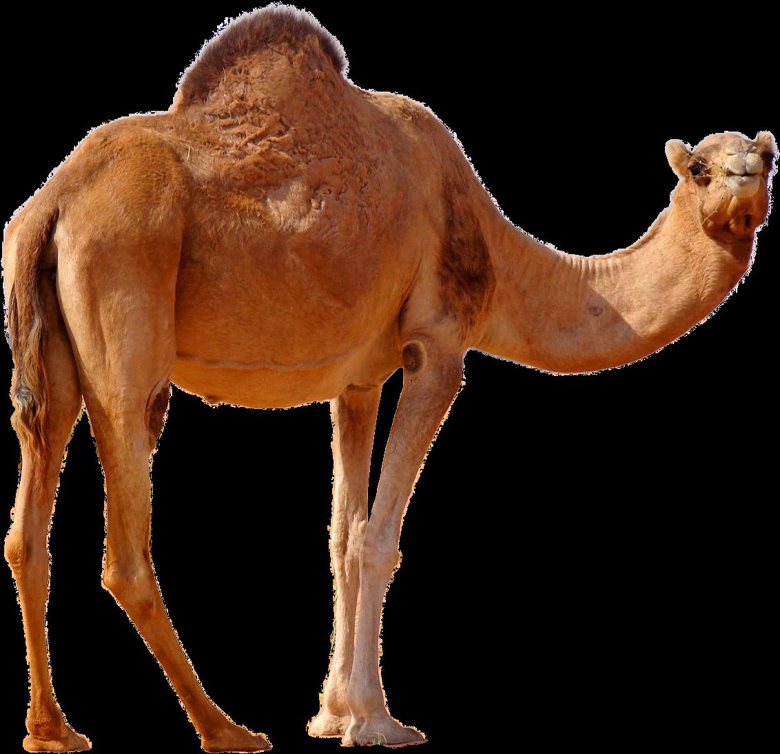 Transparent Camel Clipart - Transparent Camel Png, Png Download - vhv