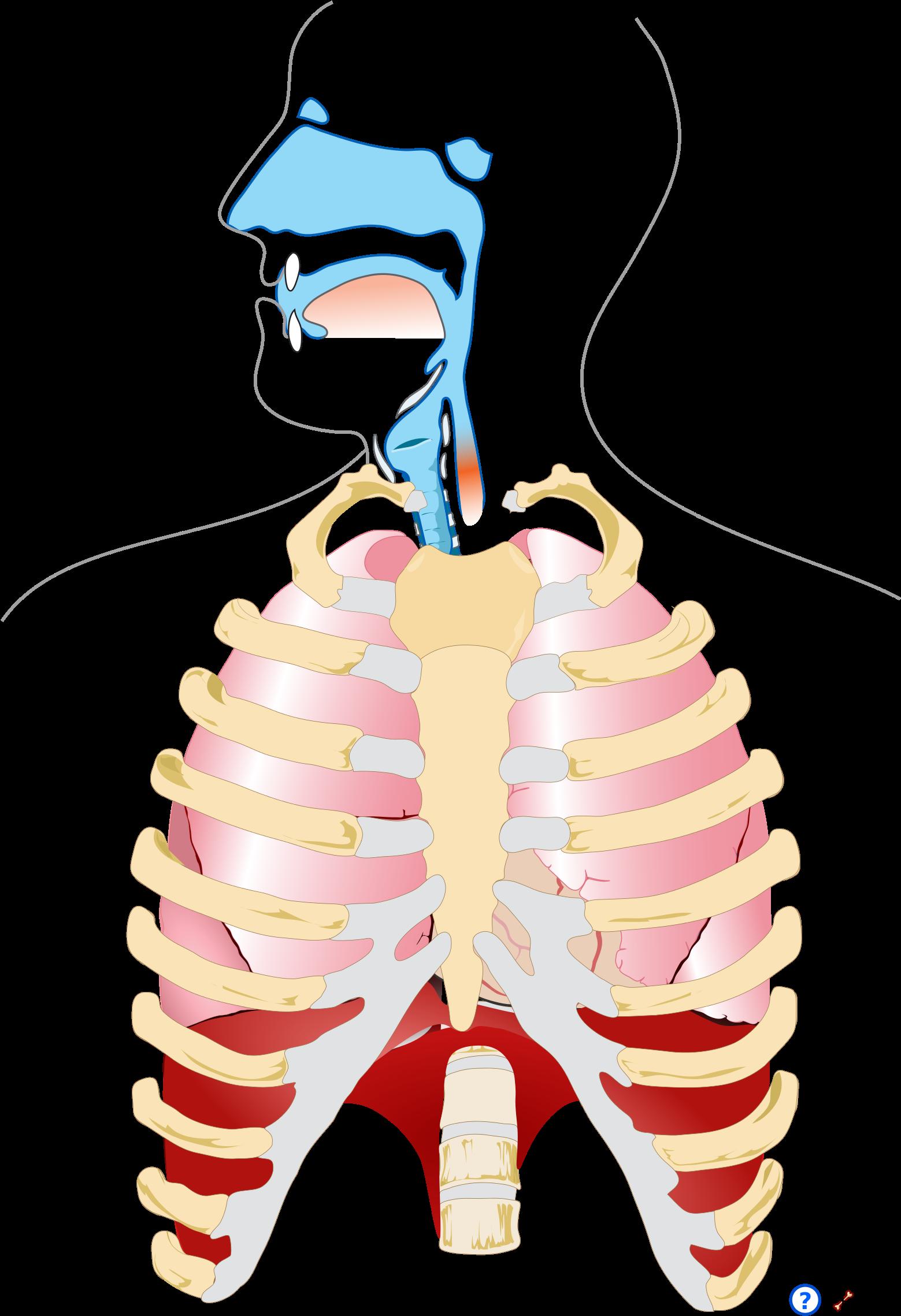 Human Respiratory System Pedagogical Fr Human Respiratory System Png Clipart Full Size Clipart 1592121 Pinclipart