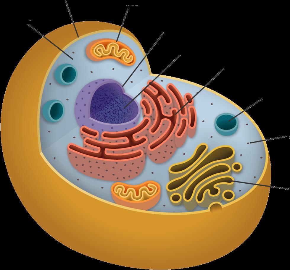 Exercises - Endoplasmic Reticulum In Animal Cell Png ...