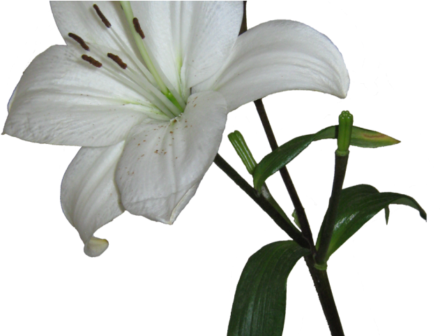 Lily Clipart Transparent Background - White Lily Transparent Background - Png Download (640x480), Png Download