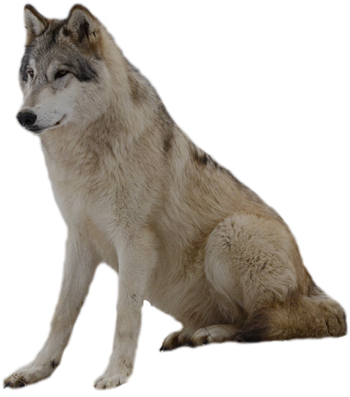 Loup Clipart Full Size Clipart 247207 Pinclipart
