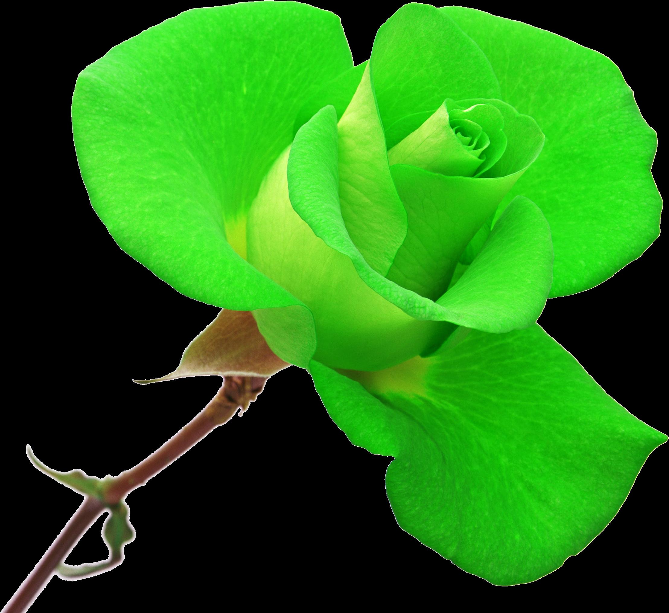 Yukle Yasil Gul Sekilleri Sorgusuna Uygun Resimleri Rose Clipart Full Size Clipart 495280 Pinclipart