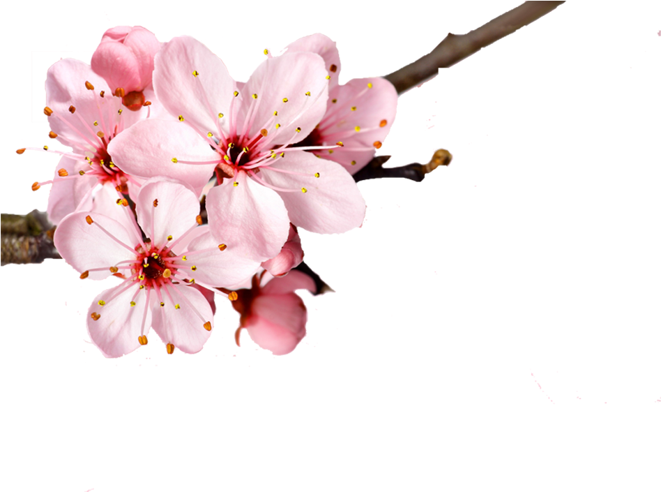 Cherry Blossom Flower Petal - Cherry Blossom Flower ...