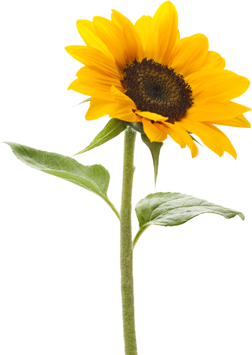 Royalty Free Sunflower Png Images Free Download Pngmart ...