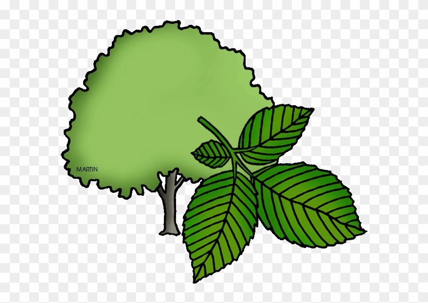 Massachusetts State Tree Elm Clipart Png Download 9468