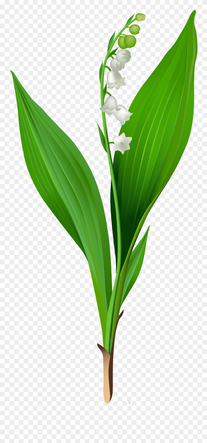 Flowers For > Lily Of The Valley Clip Art - Lily Of The Valley Clipart Transparent - Png Download