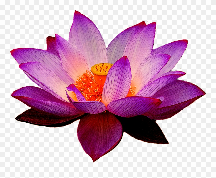 Lotus Flowers Png Purple Lotus Flower Png Clipart 1312456