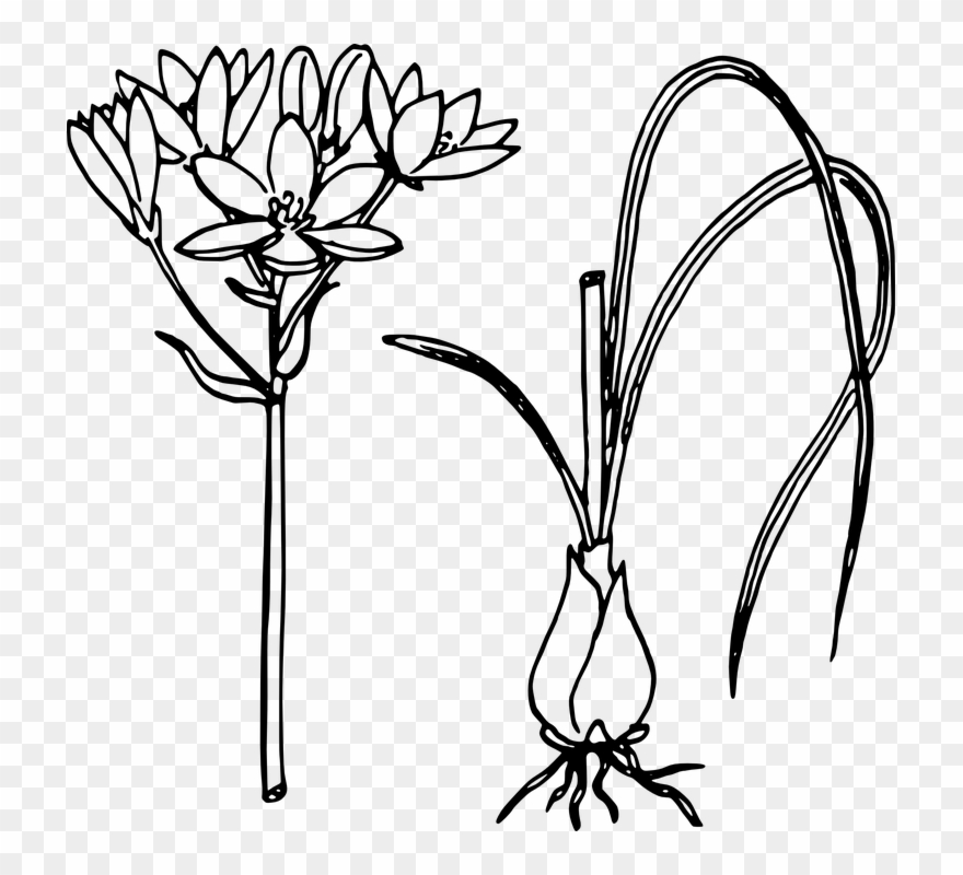 Lotus Flower Line Drawing 25 Buy Clip Art Onion Plant Line Art