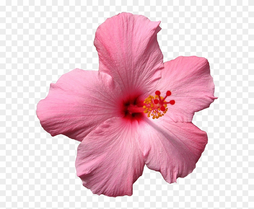 Pink Spinning Sticker By Jess Mac For Edible Wafer Purple Hibiscus