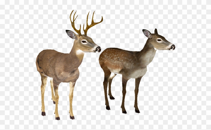 Deer transparent background. Clipart white tailed