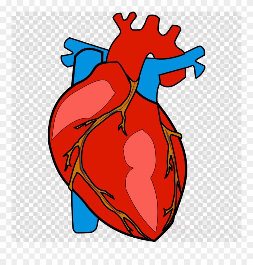 Human Heart Clipart Heart Clip Art Human Body Heart Clipart Png Download 1829920 Pinclipart