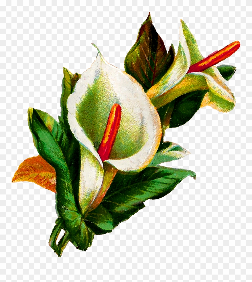Calla Lily Clipart Potluck - Calla Lily Botanical Illustration - Png Download