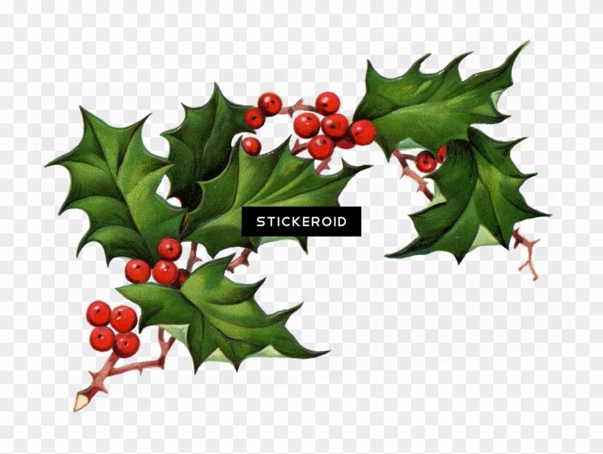 Christmas Holly Clipart Transparent.Christmas Elements Real Christmas Holly Transparent