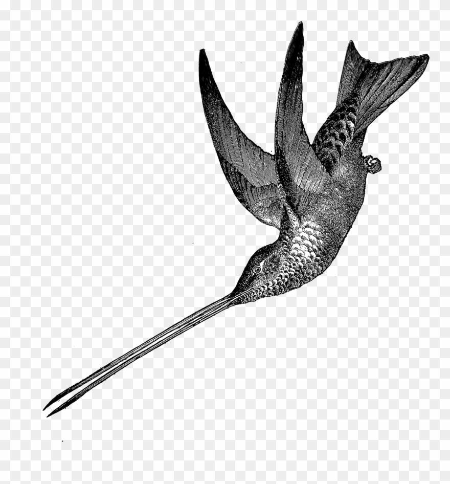 1881 Hummingbird Free Vintage Clip Art➢ Download Images