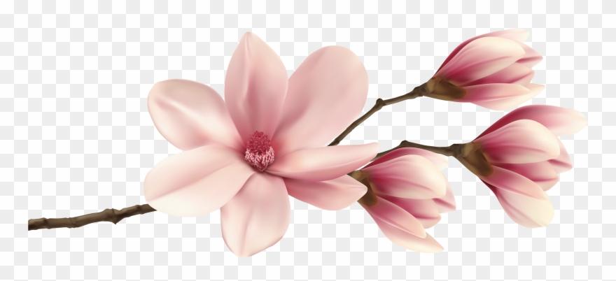 Spring Magnolia Branch Png Clip Art Image Pink Magnolia Flower Png