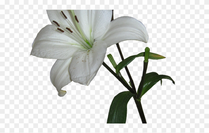 Lily Clipart Transparent Background - White Lily Transparent Background - Png Download