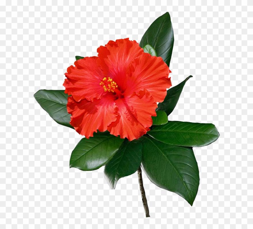 Shoeblackplant Common Flower Clip Art Hawaii Transprent - 种 大 红 花 - Png Download