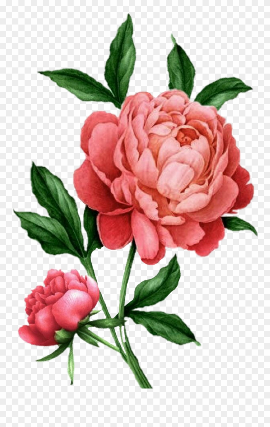 Flower Sticker Botanical Illustration Peony Drawing Clipart 3185450 Pinclipart