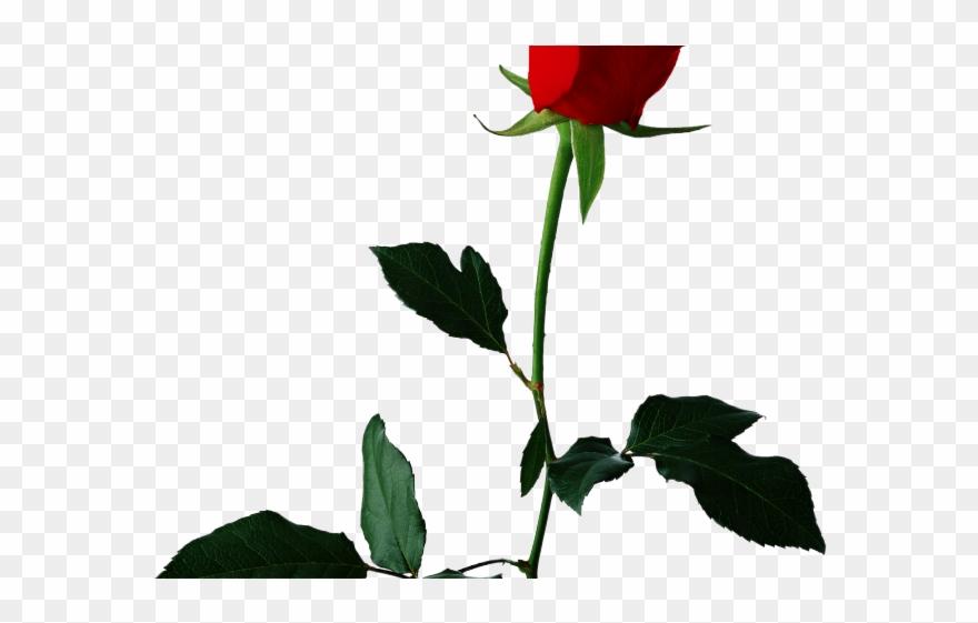 White Rose Clipart Valentine Single Rose Rose Flower Transparent