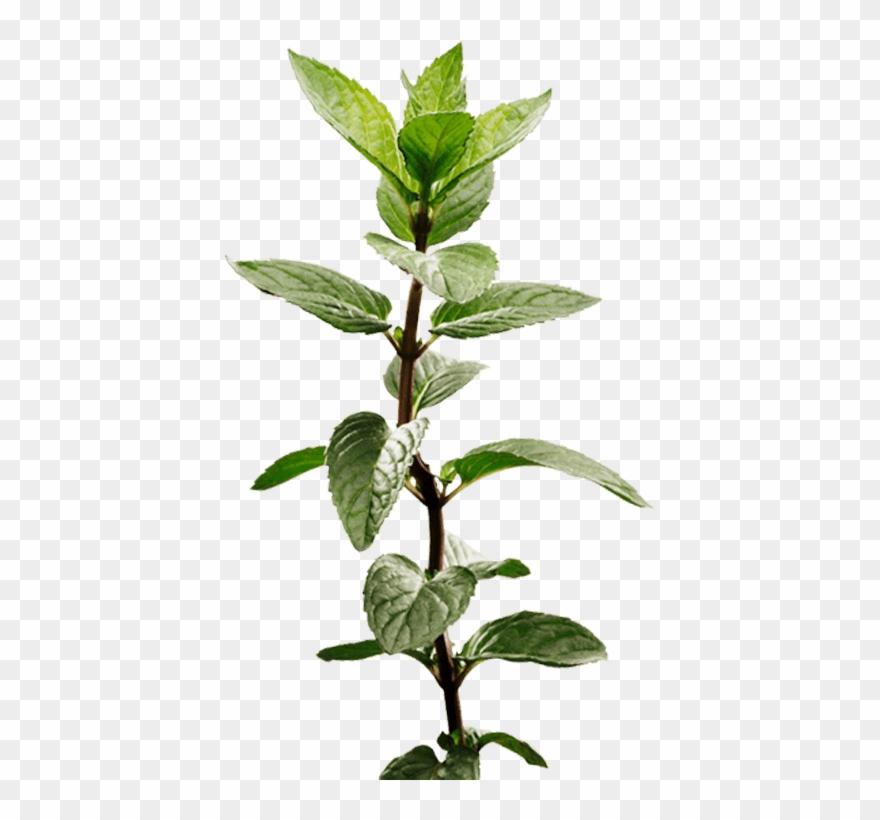 Peppermint Plant Image - Mint Plant Transparent Clipart