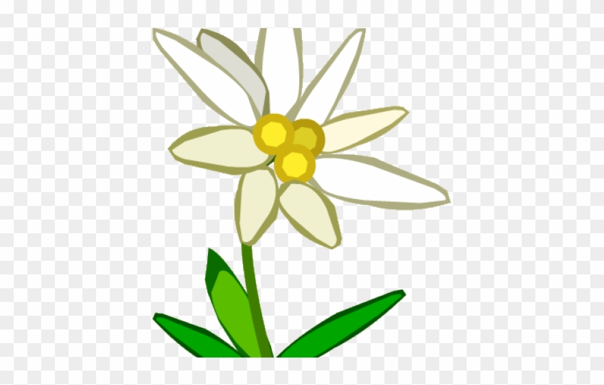 Edelweiss Border Cliparts Bunga Edelweis Png Transparent Png
