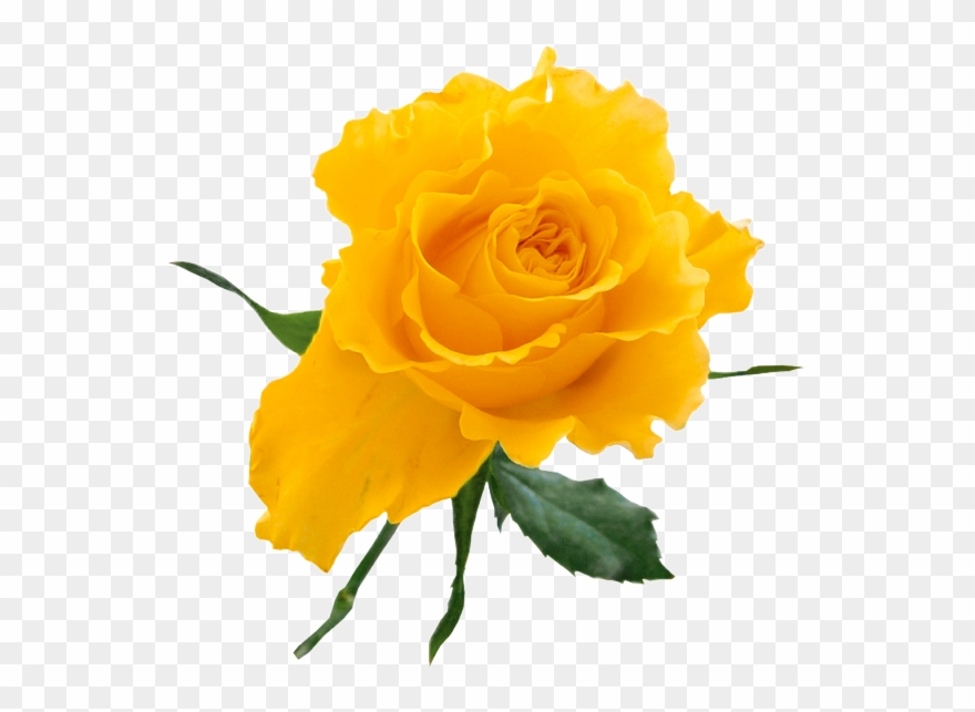 Yellow Rose Clip Art Free - Yellow Rose Transparent Background - Png Download