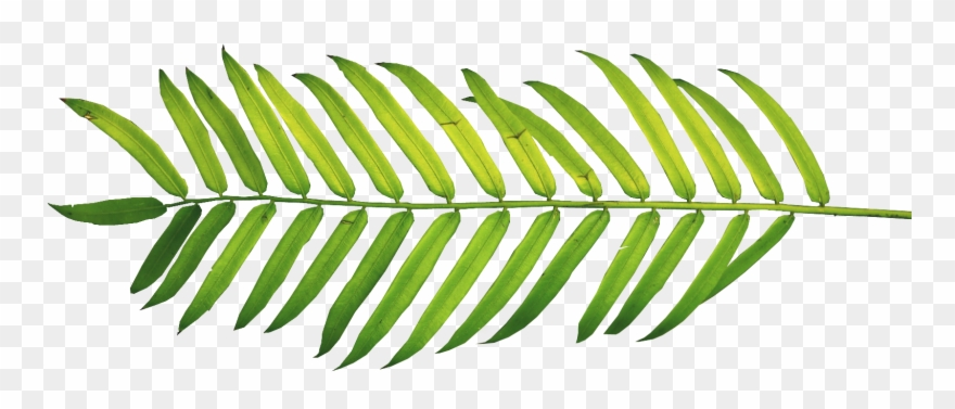Palm Fronds, Tree Clipart, Ferns, Leaves, Nature, Polyvore, - Watercolor Tropical Leaves Png Transparent Png