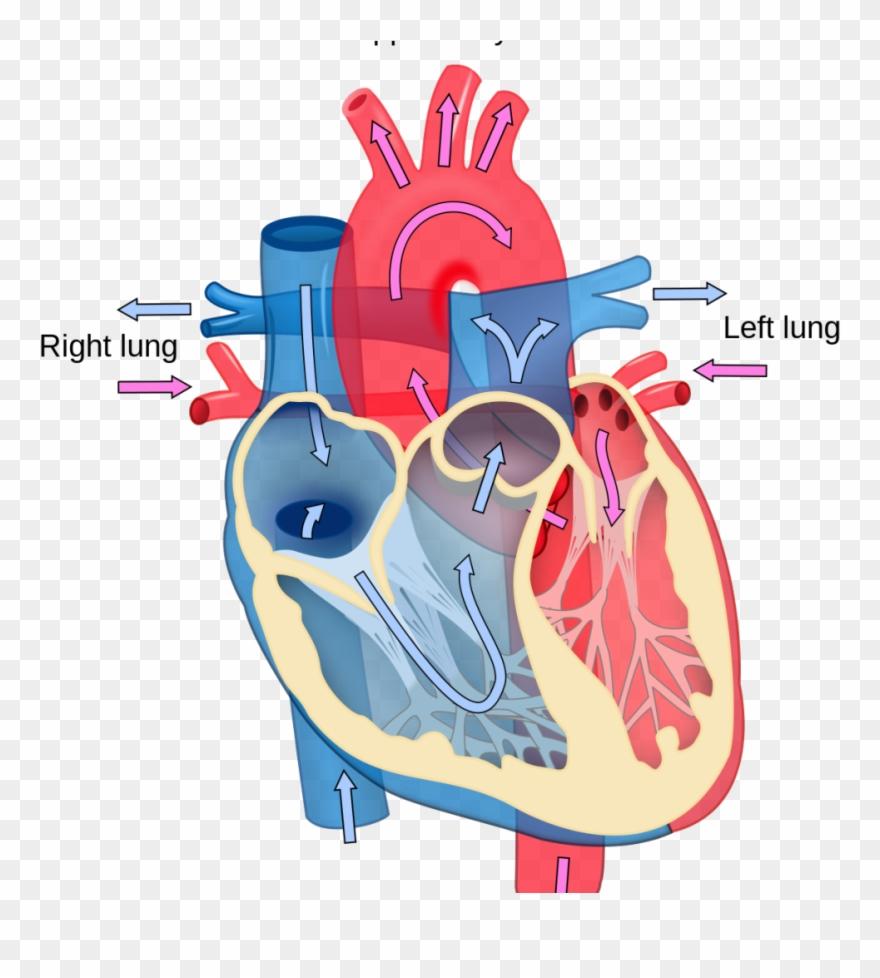 Blood Flow Unlabeled Heart Diagram Clipart (#4089679 ...