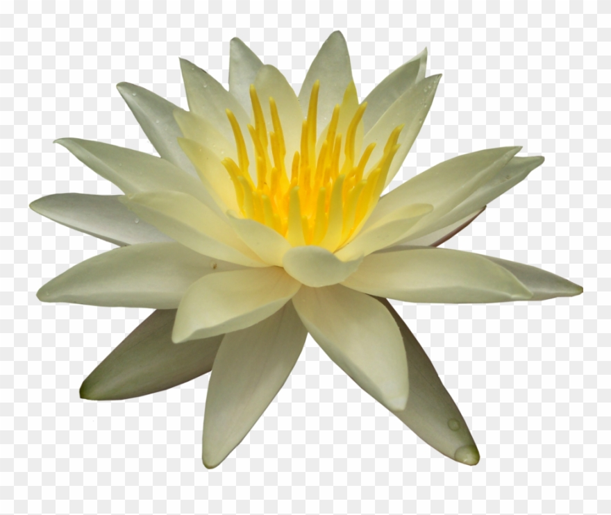 Water Lily Png Picture - Water Lilies Clipart