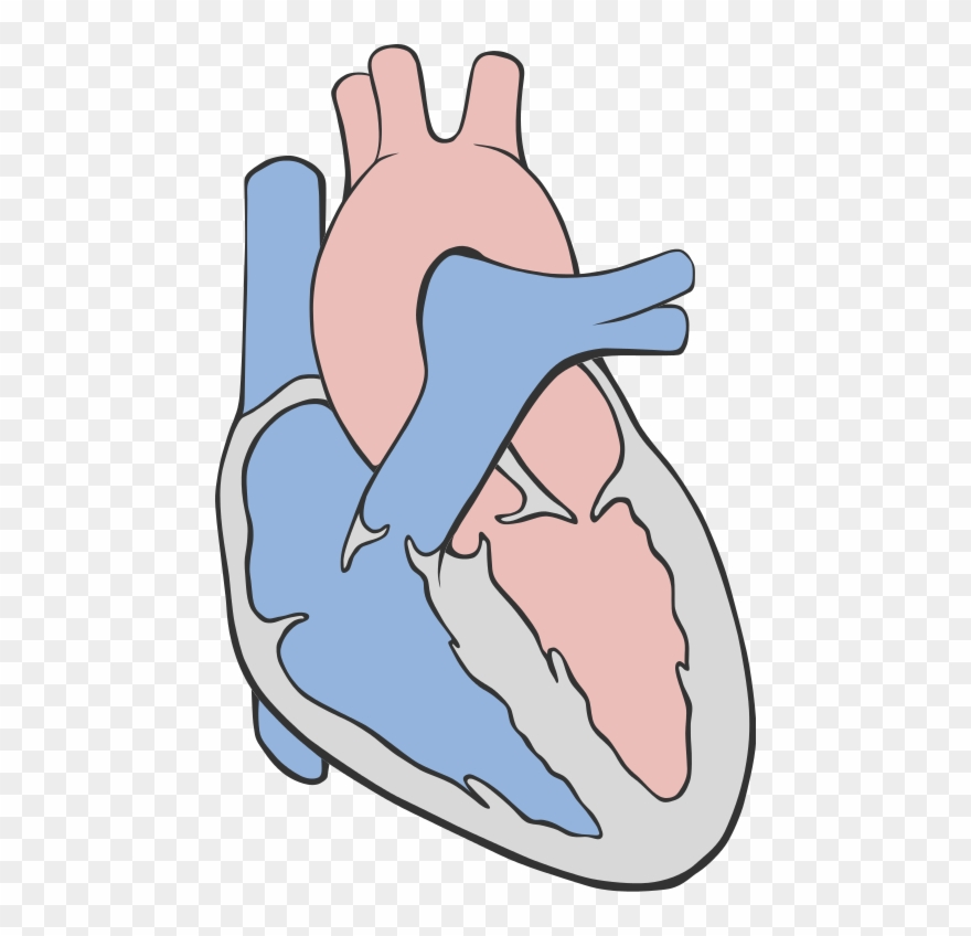 Fileheart Circulation Diagram Heart Diagram Simple Png
