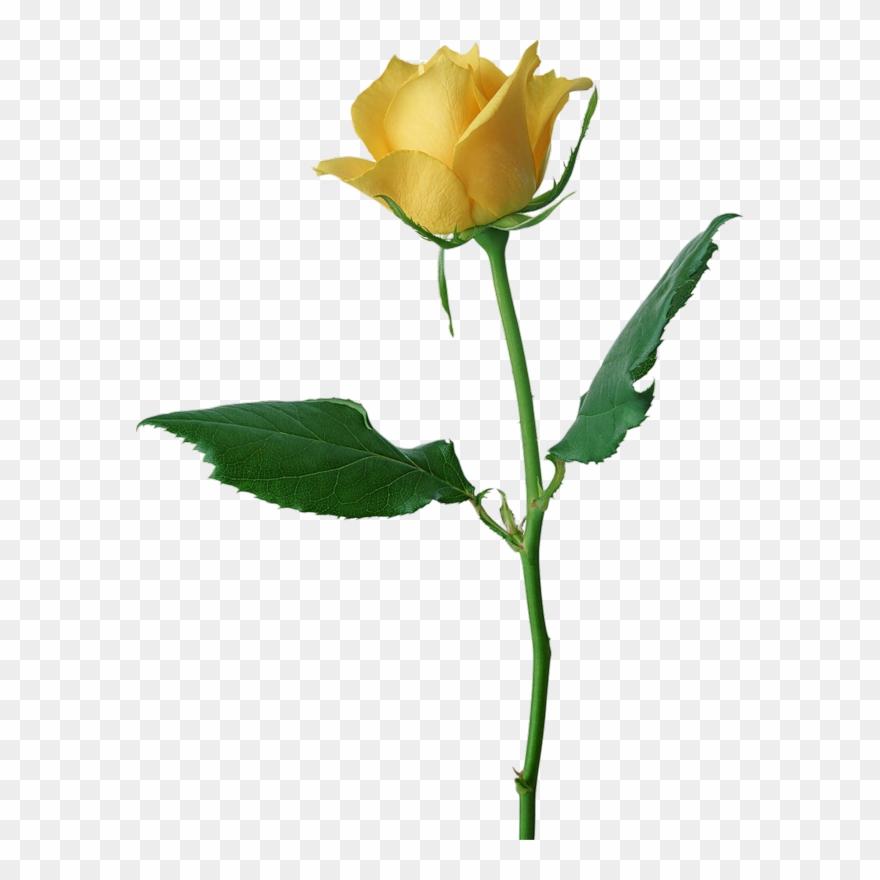 Valentine Rose All Transparent Ones Yellow Rose Flower Png