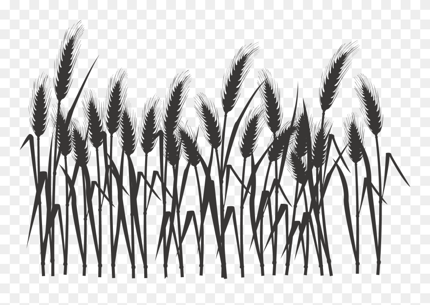 Vegetation Drawing Field Wheat - Wheat Clipart Transparent Background -  Free Transparent PNG Download - PNGkey