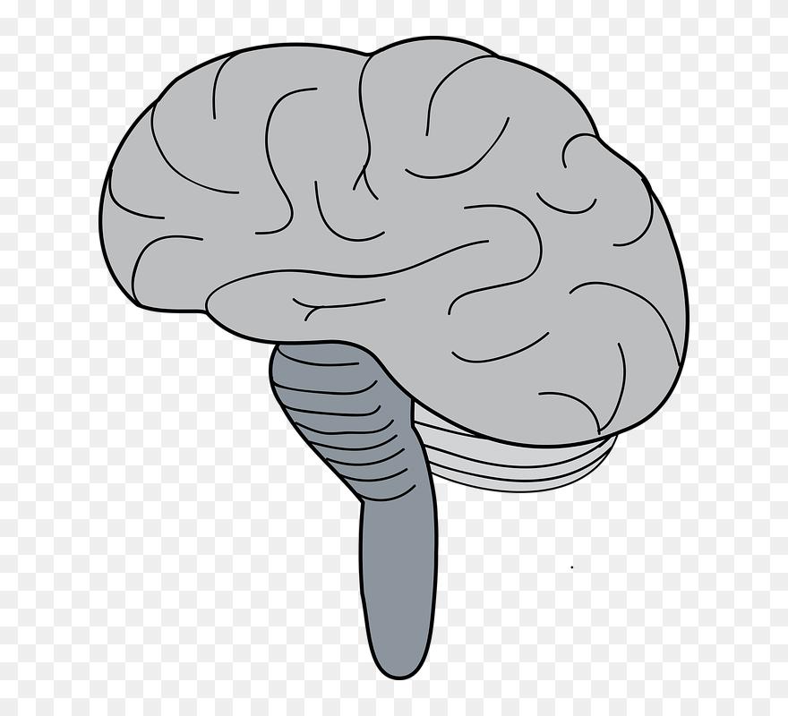 Brain Stem Simple Diagram Clipart (#5703691) - PinClipart