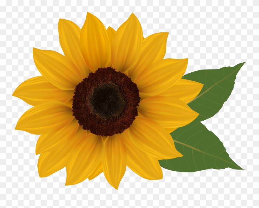 Sunflower clear background. Clip art sunflowers with