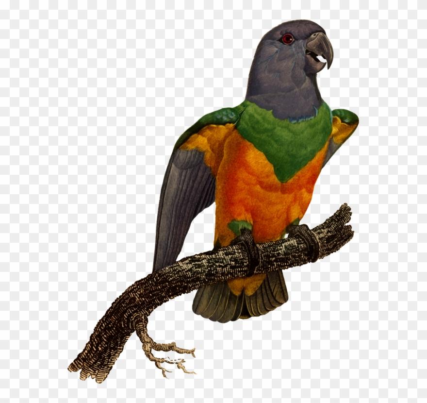 Macaw Blue Winged Parrotlet Eclectus Parrot Parrot Clipart