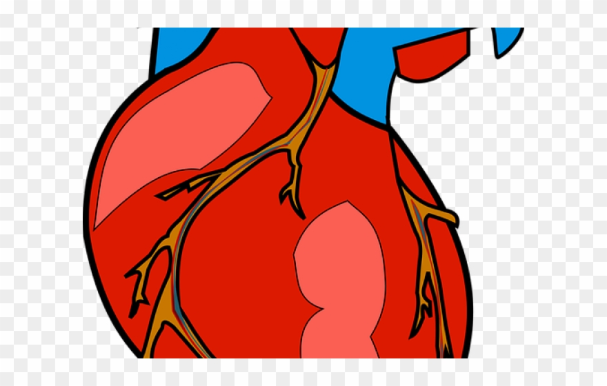 Heart real. Anatomy clipart jantung png
