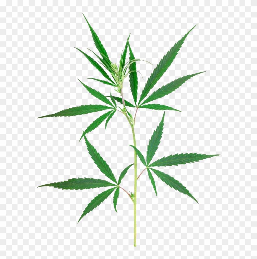 Petite Plante De Cannabis Clipart 792133 Pinclipart