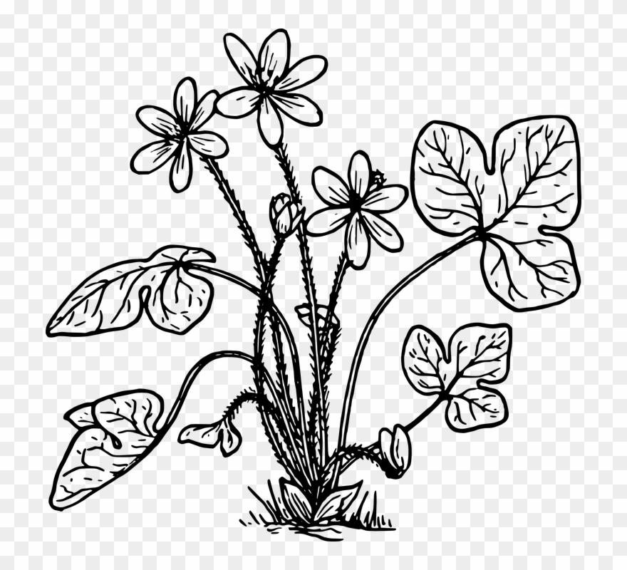 Cotton Clipart Cotton Crop Plantas Hepaticas Para Colorear Png