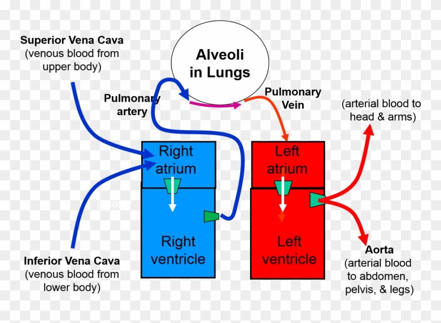 Lungs Clipart Heart Blood Vessel Circulation Between Heart