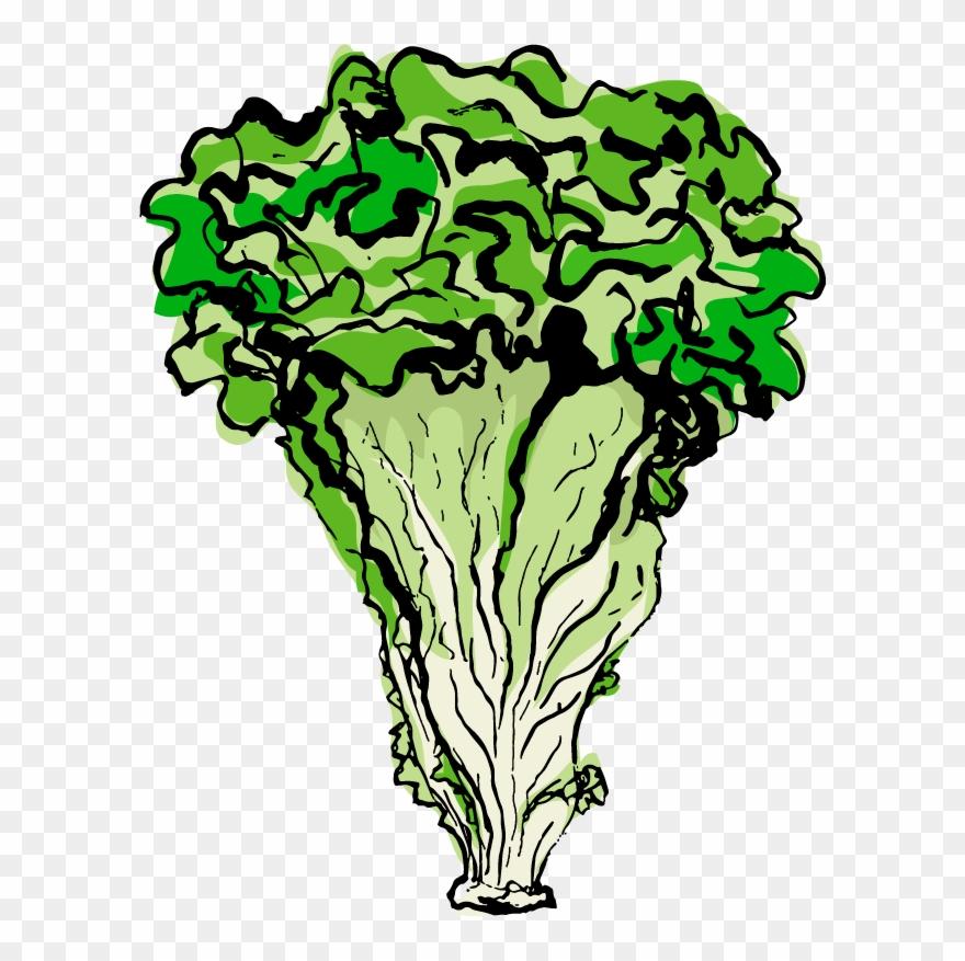 Iceberg Lettuce Greek Salad Wrap Caesar Clip Art - Celtuce - Cliparts  Transparent PNG