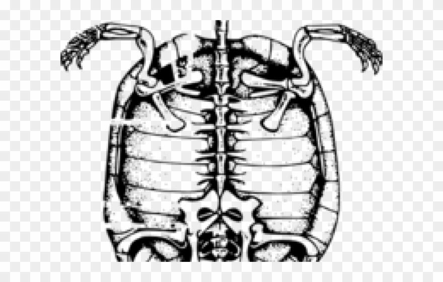 Sleleton Clipart Skeleton Outline - Animal Skeleton Drawing